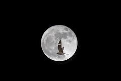 Common Nighthawk / Full Moon (Alan Gutsell) Tags: moon nighthawk night birdsoftexas bird alan wildlife nature fullmoon supermoon jar