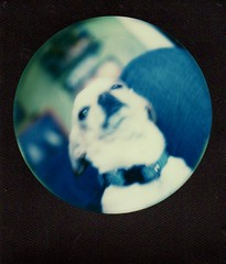 simon on my lap (EllenJo) Tags: roundframe sx70 polaroid impossibleproject theimpossibleproject ellenjo 2016 december2016