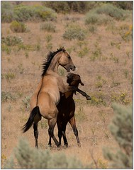 Young, wild colts sparring (DWoltereckPhotography) Tags: horse nature oregon centraloregon wildlife points mustang vr frosting equine dun equus blm wildhorse 2015 steensmountains nikond4 dunfactor legbarring nikkor200400mmf4vr dwoltereckphotography neckshadow