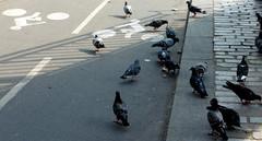 S'est fait pigeonner ! (patrick2211(ex Drozd1)) Tags: pigeons