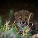 Li'l cheetah
