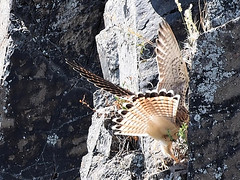 Schwierige Landung , NGIDn403578587 (naturgucker.de) Tags: johannisberg altersteinbruch naturguckerde turmfalkefalcotinnunculus cfredwehner ngidn403578587