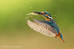 Catch! (hvhe1) Tags: wild fish holland green bird home nature animal drops wildlife dive nederland thenetherlands natuur catch waterdrops vis vogel commonkingfisher alcedoatthis ijsvogel tonden eisvogel hvhe1 hennievanheerden martinpcheurdeurope