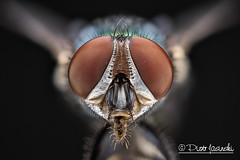 Green bottle fly - [Fujifilm X-T1 + Canon MP-E65] (Karlgoro1) Tags: camera color macro green eye animal closeup digital canon bug insect fly photo bottle eyes focus head stack fujifilm f28 stacker mpe 65mm zerene xt1 mirrorless macrolife