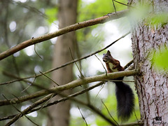 scared squirrel (Huetzi) Tags: nature beautiful squirrel heart natur attack scared wald philipp eichhörnchen landeck erschrocken huettner thrigtened