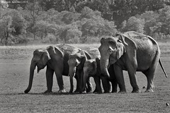 Family! #asiaticelephants #elephants #mammals #animal #wild #wildlife #wildlifephotography #black&whitephotography #family #love (Nitish Bindal Photography) Tags: family wild black love animal wildlife elephants mammals wildlifephotography asiaticelephants