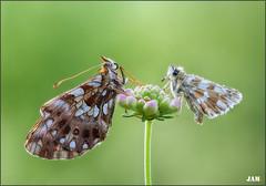 En compañia de un angel (- JAM -) Tags: naturaleza flower macro nature insect nikon flor explore jam mariposas d800 insecto macrofotografia explored lepidopteros juanadradas