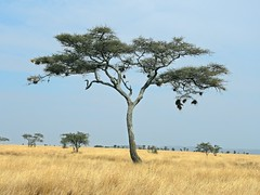 Tanzania (Serengeti National Park) Unique Sausage Tree