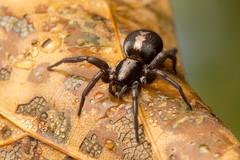 Parson Spider (Sean McCann (ibycter.com)) Tags: ontario spider scarborough ecclesiasticus parsonspider herpyllusecclesiasticus gnaphosidae herpyllus