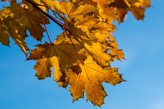 Maple leaf (ShimmyGraphy) Tags: blue autumn sky tree germany leaf maple laub herbst gelb baum ahorn gh4 gomaringen shimmygraphy