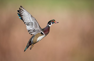 M Wood Duck launch shot