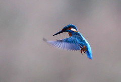 Kingfisher Male (Alcedo atthis) 0161 (cwoodend..........Thanks) Tags: brandon kingfisher wwt hovering hover 2015 alcedoatthis brandonmarsh warwickshirewildlifetrust kingfishermale kingfisherhovering