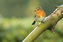 _DSC3567 Roodborst : Rouge-gorge familier : Erithacus rubecula : Rotkehlchen : European Robin