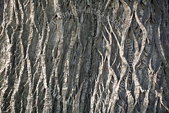 Tronc de châtaignier (Castanea sativa) centenaire (Allier 03, France). (Emmanuel LATTES) Tags: wood old winter france detail tree texture motif up closeup big pattern close sweet hiver large grand bark trunk chestnut treebark rough allier arbre bois sativa vieux gros centenaire écorce tronc détail castanea fagaceae castaneasativa châtaignier fagacées allier03 sweetchestnuttree