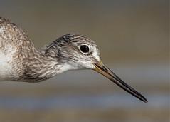 Greater Yellowlegs Closeup (PeterBrannon) Tags: bird nature water closeup bravo florida wildlife tarponsprings yellowlegs shorebird tringamelanoleuca greateryellowlegs