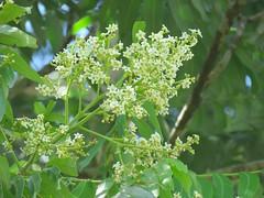 Flindersia schottiana 6 (barryaceae) Tags: kooloobung creek nature park port macquarie new south wales australia australianrainforestplant ausrfps rutaceae rue citrus family ausrfp