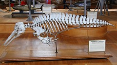 Amazon River Dolphin (Boto) Skeleton (praja38) Tags: life paris france nature animal skeleton mammal skull amazon marine europe european dolphin live teeth tail caps diversity evolution naturalhistory cap anatomy bones flippers capricorn cetacean boto comparative riverdolphin amazonriverdolphin