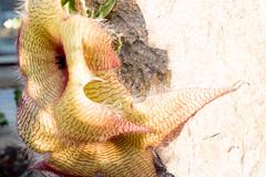 DSCF6385.jpg (Darren and Brad) Tags: plants washingtondc botanicgardens stapeliagigantea carrionflower