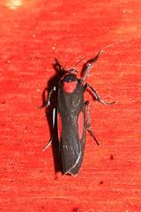 Cyana tettigonioides = Chionaema tettigonioides (Eribidae: Arctiinae: Lithosiini) (Dr. Alexey Yakovlev) Tags: borneo arctiinae lithosiini moth erebidae mounttrusmadi