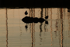 Cormorants silhouette at sunset (s_gulfidan) Tags: sunset birds silhouette reflections 200faves saariysqualitypictures