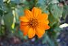 Orange daisy (alexispadilla) Tags: california travel flowers nature garden berkeley bayarea daisy universityofcaliforniabotanicalgardenatberkeley