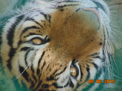 (gemin'eye) Tags: animals zoo tiger bigcats junglecatworld