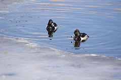 Ring-necked Ducks (splinx1) Tags: ice water duck ringneckedduck aythyacollaris divingduck thunderbirdlake bouldercoloradousa