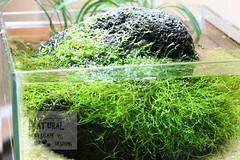 Riccia Pico (naturalaquascapedesigns) Tags: nano riccia