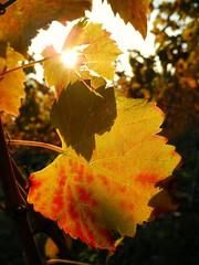 Leuchtende Weinbltter (almresi1) Tags: blatt weinberg herbst autumn lichtstrahl sunlight