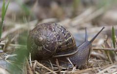 Fibonacci Marvel: The Snail (Life_After_Death - Shannon Renshaw) Tags: canon canoneos canoneos50d 50d eos dslr canondslr eosdslr canoneos50ddslr photography lifeafterdeath lifeafterdeathstudios lifeafterdeathphotography shannonday shannondayphotography shannondaylifeafterdeath lifeafterdeathstudiosartandphotography shannondayartandphotography macro invertebrate snail slug shell fibonacci spiral detail intricate close up nature outdoor back yard grass math mathematics