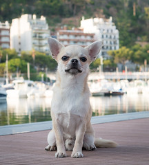Paquino is a good boy (StoryofLove Chihuahuas) Tags: chihuahua cachorro chihuahuas cute cahorrito perrito puppie puppi puppy perro pet pets pupie port puerto barcelona animal animals dog doggie dogs dogie mediterraneo
