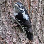 Downy Woodpecker_female thumbnail