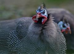 Colourful guinea fowl (janewynyard) Tags: guineafowl birds bird wildlife wildlifephotography