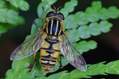 IMG_0643n (wim_z) Tags: closeup canonef100mmf28lisusm helophiluspendulus macro 70d zweefvlieg hoverfly nature animals insects