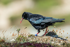 Chough (Glenn.B) Tags: northwales southstack anglesey chough