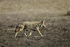 Wandering Coyote (lennycarl08) Tags: animalplanet coyote pointreyesnationalseashore pointreyes california northerncalifornia marincounty goldengatenationalrecreationarea