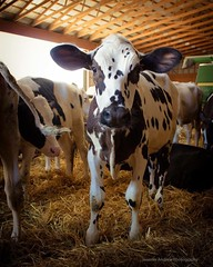(dreamer56horses) Tags: animal country steer beef farm holstein cow calf