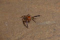 I Wanna Go Thataway (tessab101) Tags: spiders arachnids arachnid arthropods bugs prostheclina bulburin salticid salticidae salticids jumping spider