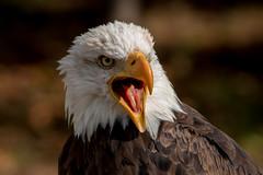 "White bald eagle lady ""Tonka"" (Saarblitz) Tags: weisskopfseeadler weiskopfseeadler greifvogel porträt outdoor herbst farben herbstfarben tier vogel whitebaldeagleladytonka abgepassr kompliment"
