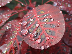 """ Rain Drops "" (seanwalsh4) Tags: red leaf water droplets nature sean walsh bristol elegance nice delicate raindrops beautiful canon camera photograph elegant"