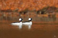 Petit garrot  -  Bufflehead   (Maxime Legare-Vezina) Tags: bird oiseau nature duck wild wildlife animal fauna biodiversity water lake automne fall colorful canon ornithology