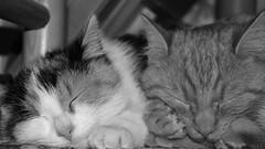 in harmony ( mpg) Tags: mpg2016 harmoni harmony cats katzen pets 100xthe2016edition bw blackwhite fotosndag fs161120