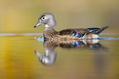 Canard branchu / Wood duck (Aix sponsa) (Jean-Maxime Pelletier) Tags: bird duck bokeh reflexion wildlife