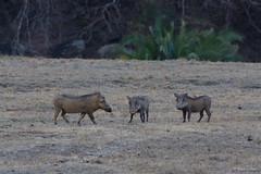 Warthog - Phacochoerus aethiopicus -3699 (Theo Locher) Tags: warthog zoogdieren phacochoerusaethiopicus mammals pakamisa pakamisagamereserve pongola kwazulunatal southafrica zuidafrika copyrighttheolocher