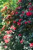 rhodendrum