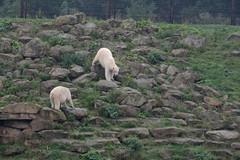 Eisbren Nobby und Pixel  im Yorkshire Wildlife Park (Ulli J.) Tags: zoo grosbritannien storbritannien greatbritain grandebretagne grootbrittanni royaumeuni verenigdkoninkrijk vereinigtesknigreich unitedkingdom uk england engeland angleterre yorkshireandthehumber southyorkshire doncaster branton yorkshirewildlifepark ywp projectpolar eisbr polarbear ourspolaire isbjrn ijsbeer