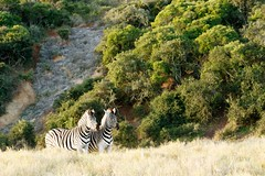 Two Zebra standing in a similar position (markdescande) Tags: africa natural safari herd william mammal south background animal plains named national herbivore way naturalist outdoors burchells quagga white lines pattern stripes eating green black closeup nature zebra time subspecies look john wild explorer burchell striped after grass wildlife southern travel standing british camera grassland park sky african wilderness field