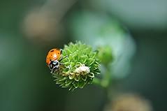 My garden is now protected by 1500 ladybugs! (jungle mama) Tags: ladybug squarestem white red black aphid garden peskcontrol hippodamiaconvergens melantheranivea asteraceae snowsquarestem saltpepper