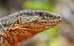 Callopistes maculatus / Iguana chilena / Chilean racerunner / Spotted false monitor (cheloderus) Tags: scales escamas lizard iguana callopistes maculatus reptil reptile chile