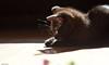 playfull (leaving-the-moon) Tags: 2016 201606 animals black blackandwhite cat gondor haustier katze katzen pet rohan schwarz kitten